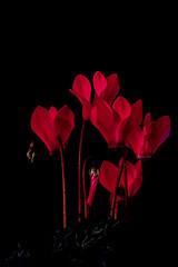Cyclamen Fire Dance- (Allan A Albery) Tags: blue cyclamen flower blackbackground macro lightroom sonya7ii sony90mm28macrofelens fire light dark flame ngc