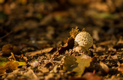 Sunshroom (Andre F1.4) Tags: shroom nature plant autumn leaves sunshine bokeh forest outdoor woods seed fruit ground