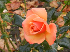 Beautiful Rose, Inverness, Oct 2016 (allanmaciver) Tags: rose inverness capital highlands colour display allanmaciver invernessoct2016