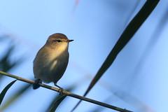 pouillot vloce ( Phylloscopus collybita ) Erdeven 161008i2 (pap alain) Tags: oiseaux passereaux sylviids pouillotvloce phylloscopuscollybita commonchiffchaff erdeven morbihan bretagne france
