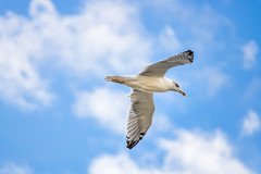 Freedom (Mat Viv) Tags: canon canon760d canont6s canoneos760d canoneost6s 760d t6s canonstm canon55250mmstm zoom telephoto wildlife bird seagull flying travel italy tuscany livorno blue sky clouds sunlight daylight nature natural freedom outdoors