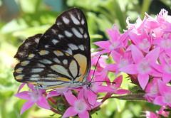 Caper White Butterfly in my garden (tracey shelby) Tags: caper white butterfly