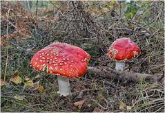 Fly Agaric . (Alan Burkwood) Tags: flyagaric amanitamuscaria fungi clumberpark nottinghamshire