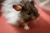 Churro (conradolson) Tags: hamster cute eye churro pet animal