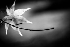 mini sunburst (rich lewis) Tags: mono monochrome blackandwhite nature tree waterdrop richlewis