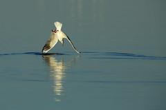 Mouette rieuse (MaqPhi) Tags: mouette rieuse camargue vaccares arles tang eau oiseau pche plongeon piqu blackhead gull
