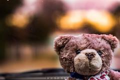 Crunchy in da' car (photoshot1993) Tags: sony alpha 65 couleur color fontet aquitaine lot et garonne france bear teddy ours en peluche bokeh crunchy sal 50 mm 14 flou car sun sunset