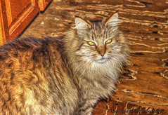 Where's My Food?!!!! (fishmonger45) Tags: cats ziggy nature animals pets photoshop photomatix hdraddicted hdr hdrphotomatix