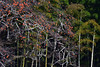 Kaki and Take (myu-myu) Tags: nature plant kaki diospyroskaki take bambuseae nikon d500 柿 カキ タケ 竹藪 japan persimmon
