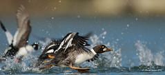 The great escape! (Chantal Jacques Photography) Tags: commongoldeneye esquimaltlagoon wildandfree thegreatescape duck canon7dmarkii