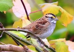 white-throated sparrow near Calmar IA 854A8546 (lreis_naturalist) Tags: whitethroated sparrow calmar winneshiek county iowa larry reis