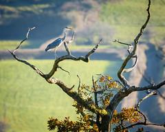 Grey Heron (ABPhotosUK) Tags: animals ardeacinerea ardeidae birds bitternsandherons canon devon ef100400mmisii eos7dmarkii greyheron rivertavy wildlife