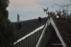 """Kleiner schwarzer Adler""-7 16.10.2016 (bremen fotoconnection) Tags: nikond300 ednikkor300mm bremen andreaswiethop krähen corvus crows"