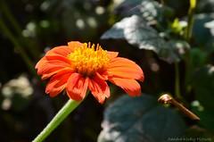 Zinnia flower (Sandra Király Pictures) Tags: zinnia flower flowers nature outdoor budapest hungary