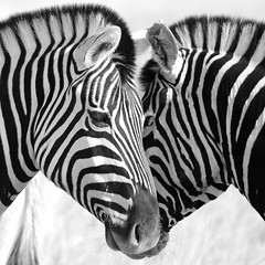 Striped heart (proefdier) Tags: africa afrika animal etosha namibia nationalpark stripes wildlife zebra