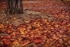 when I looked down again (Andy.N.) Tags: tree leaves autumn autumnleaves redleaves deadleaves