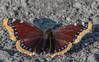 Mourning Cloak - Camberwell beauty (Nymphalis antiopa)-1338 (Stein Arne Jensen) Tags: arthropod arthropoda arthropode buskerud butterflies butterfly camberwellbeauty canon500dcloseupfilter canon500dcloseuplensfilter canon500dcloseuplens canon70d canonef100400f4556lisusm dagsommerfugl dyr ectognatha edelfalter europa europe gliederfüser invertebrateanimal kongsberg leddyr lepidoptera morio mourningcloak norway nymfevinger nymphalidae nymphalisantiopa sagvoldbrua schmetterlinge sommerfugler steinarnejensen sørgekåpe trauermantel animal borboletas macro makro mariposas papillons tier европа траурница бабочки нимфалид أوروبا الفراشات तितलियों यूरोप キベリタテハ タテハチョウ科 ヨーロッパ 歐洲 蝴蝶 蝶 나비 유럽