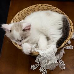 Pippin-3 (Roz B) Tags: ragdoll kitten cat sleep