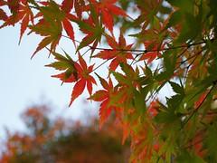 Japanese maple (chisato tanaka) Tags: autumn leaves 葉 秋 leaf maple