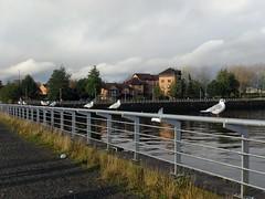 IMG_20161119_122139 (paddy75) Tags: verenigdkoninkrijk schotland glasgow pacificquay clyde rivier meeuwen