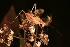 IMG_6045(1) (Roving_photographer) Tags: tettigoniidae nymph grasshopper brown hornsby sydney nsw australia