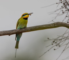Appropriately named if ever there was one.... (Mykel46) Tags: 2xtele 5dmk4 canon bee nature birds beeeater rainbow rockleigh southaustralia australia au