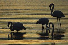 3 (gabrielmoreira1971) Tags: phoenicopterus roseus flamingos murtosa