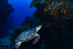 My friend (jcl8888) Tags: turtle seaturtle scuba diving cozumel mexico underwater ocean sea blue travel adventure water coral reef coralreef yucatan island