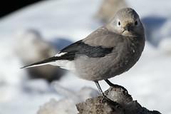 Petit oiseau (MetallYZA) Tags: 2016 canada alberta icefieldsparkway promenadedesglaciers bird oiseau banff