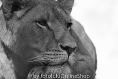 Loewe (Angola-Loewe)_Panthera leo bleyenberghi-25 (fotolulu2012) Tags: blackandwhite black animals schwarzweiss weiss schwarz tierfotos blackendwithe schwarzweissbilder avibase