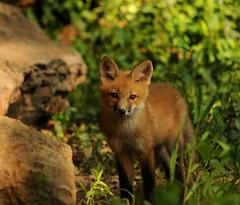 Baby Fox (lanaganpm) Tags: fox mammals