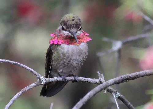 Hummingbird Flared Neck