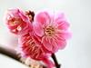 Red plum blossoms (紅梅) (Kiccororin) Tags: flower canon garden tokyo plum 新宿御苑 東京 tamron ume 梅 plumblossoms 紅梅 shinjukugyoennationalgarden redplumblossoms