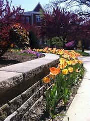 It's Springtime in the Bluegrass! (University of Kentucky) Tags: uk flower spring tulip universityofkentucky millerhall