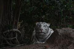 Yangyu? (Olaya Garcia) Tags: white blanco canon eos tiger canarias lp tenerife canary tigris tigre whitetiger loroparque panthera tigreblanco pantheratigristigris 1000d