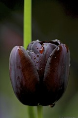 red blood (Edo Zollo) Tags: red flower green grass rain blood tulip