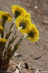 *tussilago farfara* on beach (Elsa Kurppa) Tags: flower yellow spring blomma gul 2012 vr coltsfoot tussilagofarfara leskenlehti   kevt kukka  keltainen hsthov elsakurppa