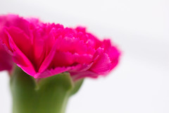 () Tags: flower macro canon day may mothers carnation 2012   550d