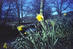 Daffodils (Saturated Imagery) Tags: park flowers film 35mm iso200 toycamera leeds wideangle vignette daffodils expiredfilm meanwood vivitarultrawideandslim epsonv500 scotchcolour200