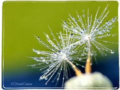 Nature's Fireworks. (Title by Astral Will) (Treesha Duncan) Tags: blue summer usa white green nature water silver photography drops shiny seed sparklers dandelion naturesfireworks sonya550 picmonkey