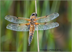 Four Spotted Chaser (Crazybittern1) Tags: dragonflies insects fourspottedchaser sigma70300mmmacro nikond300
