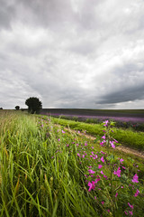 English Countryside (gracust) Tags: england colour tree field lavender crops englishcountryside ickleford hitchinlavender