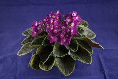 Optimara DaVinci (khufram) Tags: other davinci africanviolet optimara