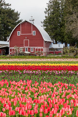 colorful tulip field and farmer barn (Kanonsky) Tags: seattle morning pink red sky orange mountain plant flower color tree nature floral beautiful beauty field yellow bulb clouds barn landscape photography washington leaf spring flora colorful purple tulips bright cloudy blossom farm vibrant seasonal harvest scenic vivid row petal valley bloom farmer agriculture springtime