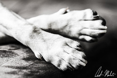 Tired Paws (Demetrios Manolatos) Tags: nyc newyorkcity blackandwhite dog pet pets newyork black beagle puppy blackwhite paw pug queens gothamist doggy paws puggle