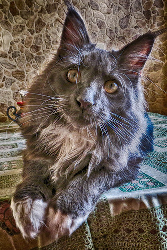 maine coon Florimon 42