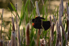 Red Wing Blackbird in the Hyatt Hidden Lakes Reserve (Michael E(xploratory) S.) Tags: wetlands redwingblackbird