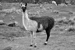 Lake Umayo Llama B&W (ollygringo) Tags: travel bw peru titicaca animals farm farming llama andes llamas puno domesticated animalhusbandry umayo