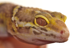 Albino Leopard Gecko (Brandon Heyer) Tags: pet eye flood reptile flash albino gecko milton onwhite leopardgecko