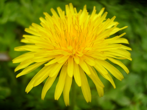 Yellow Dandilion